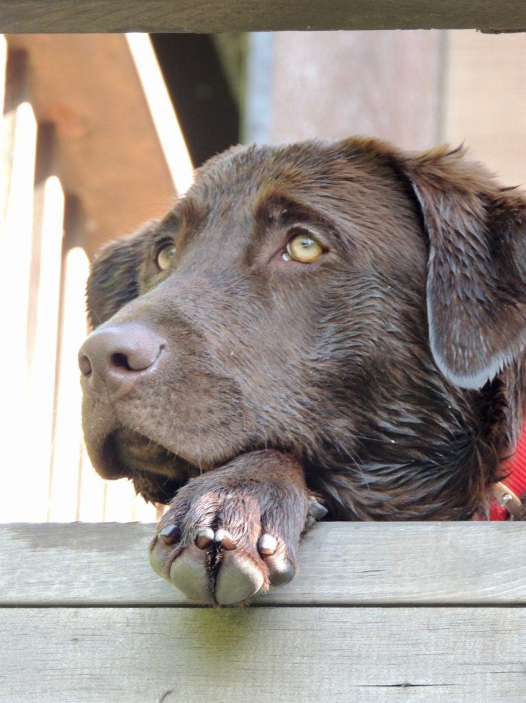 A chocolate labrador laying on her paw looking off into the distance.