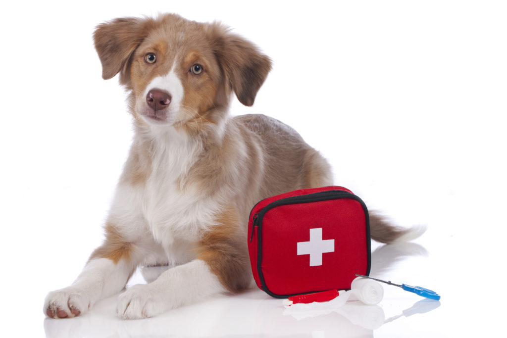 Young Australian Shepherd is laying on the ground with its head up, looking at the camera. A first aid kit is sitting next to the dog.